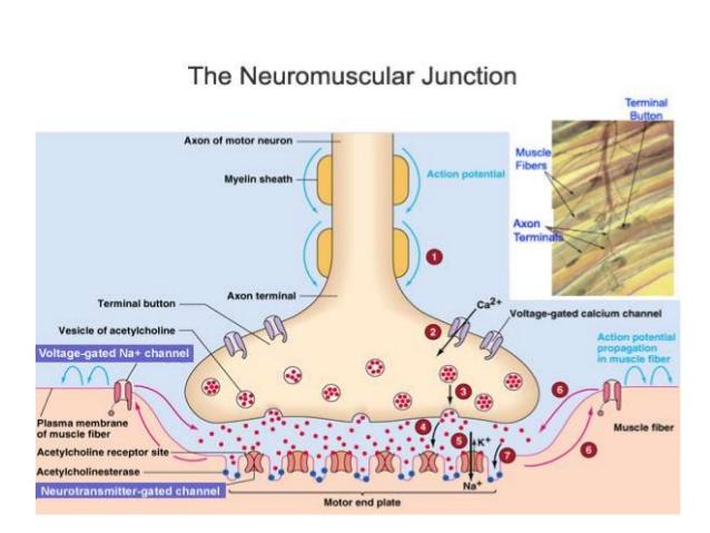 neuromuscular-junction-12-638